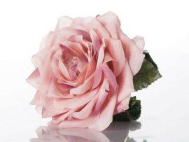 113-270x203 זר כלה - צמיד פרח ורוד ממשי